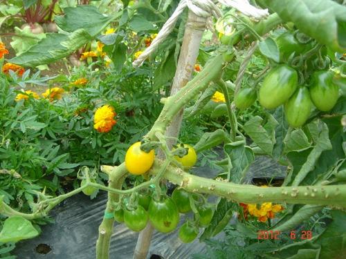 tomato018.jpg